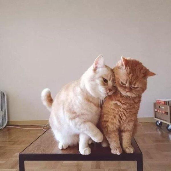 Des chats amoureux, ces fervents austères ....