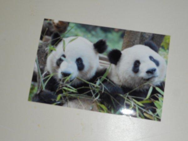 panda Photo 1