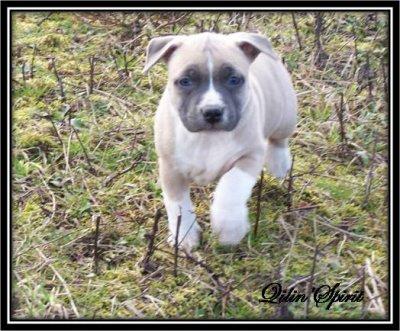 Dispo - femelle n°1 blue fawn panaché blanc