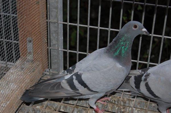 Des pigeons de Gaby Vandenabeele : Un rêve devenu réalité