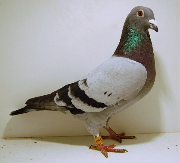 gd fond : male(fils du mosaique cor de heyde + fille maximus  van dervelden ) * femelle fille perpignan duivin cor de heyde