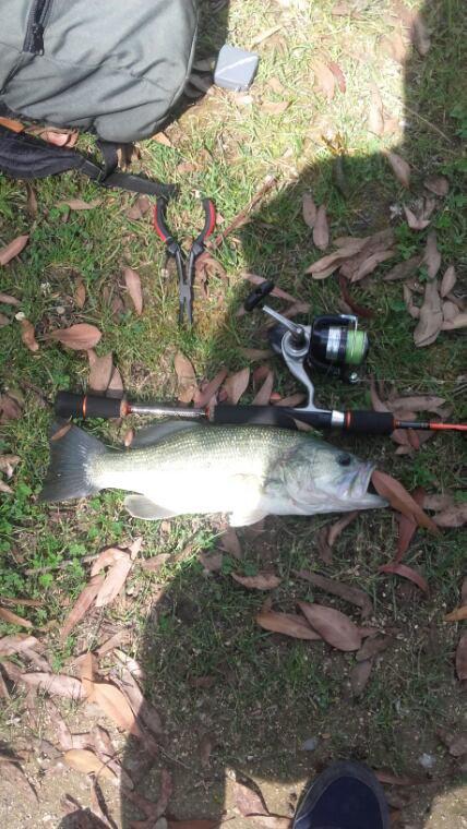 Jolie bass de 40cm pris à passeligne avec un fat vert de chez Gary yamamoto