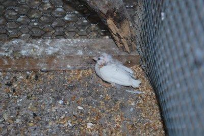 le seule petit mandarin sortie du nid pour le moment 6 femelles au nid en tout 34 oeufs on croise les doigts pour de nombreux petit