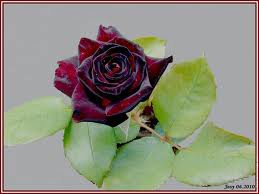 rose rouge et noir