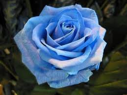 Une deuxième rose