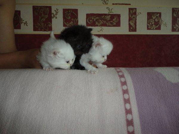 chaton persans a reserver