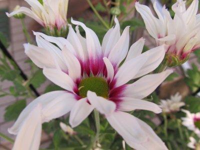 Mon chrysanthème(^_^)v