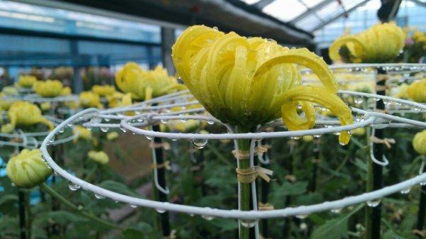 Chrysanthème japonaise ^^