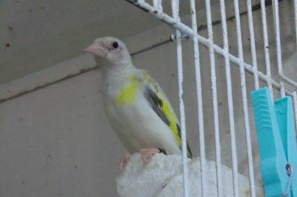 femelle agate pastel tète blanche