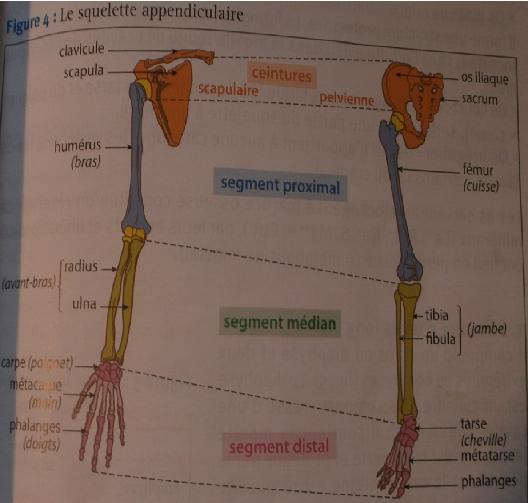 Pôle 3 : chapitre 9 : L'organisation du squelette