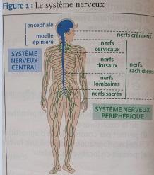 Pôle 3 : Chapitre 11 : L'organisation générale du système nerveux