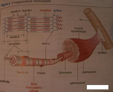 Pôle 3 : Chapitre 13 : Histologie des tissus nerveux et musculaires