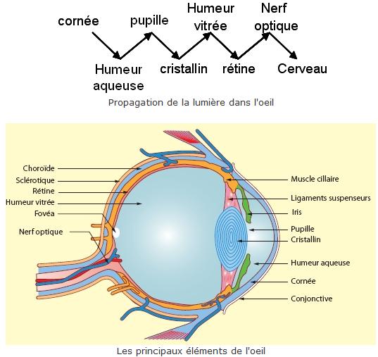 Chapitre 1. L'½il : Système optique