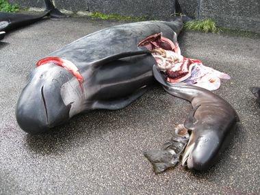 Manifestation contre le massacre des cétacés aux iles féroé