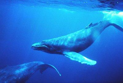 La France doit protéger le sanctuaire des baleines !
