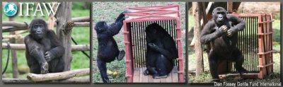 """Projet Gorilles """" Vol vers la liberté"""" - nous avons besoin de votre soutien"""