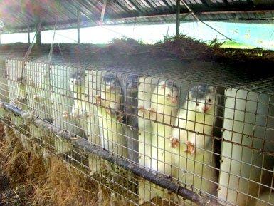 NON aux élevages de visons