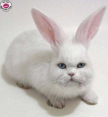 chapin croisement chat lapin