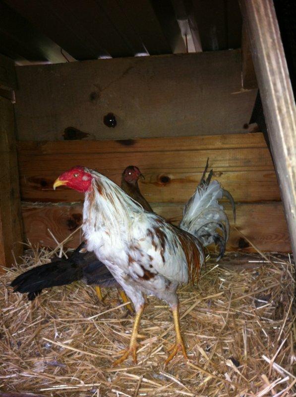 Mon coq et ma poule espagnol et ses poussin blog de coq et poule espagnol - Poule et ses poussins ...