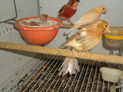 Casal Arlequim Portugues femea canela macho portador com dois filhos um canela variegado e o outro nasçeu com olhos vermelhos