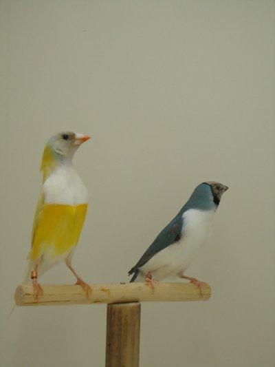 Casal Diamantes de Gould Macho Amarelo Femea Azul Peito branco