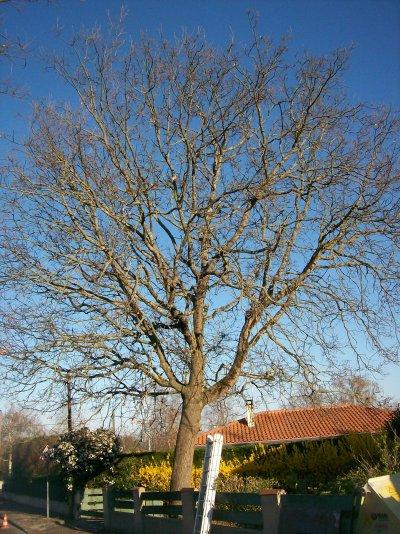 abattage par démontage d'un Chêne à Rochefort
