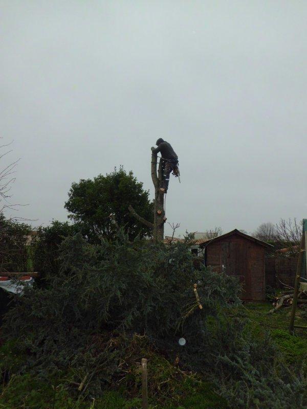 abattage par démontage d'un Cèdre à Port Des Barques