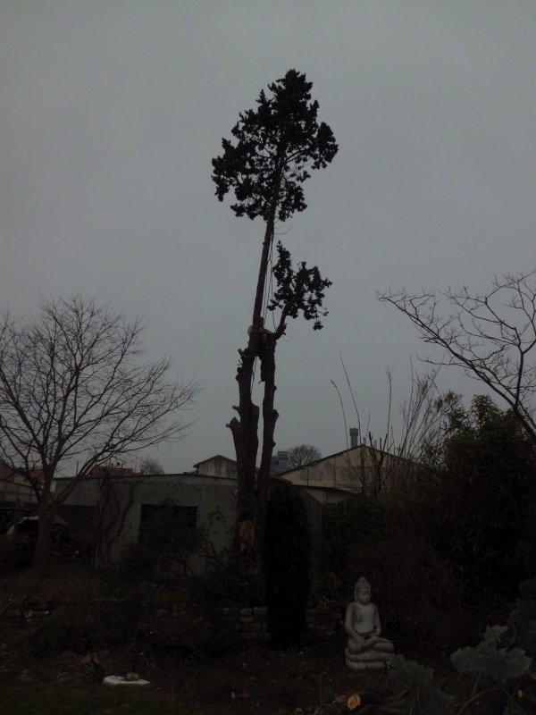 abattage par démontage d'un Cyprès à Rochefort