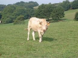que penser vous de mes vaches a viande