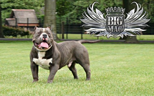 *pére bluetown bully bigmac champion ebkc bully type extreme!!