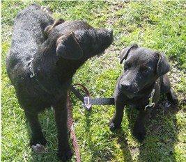 """Jagd Terrier :    """"LA PEPA"""" después de un año."""