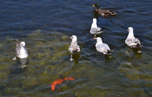 La mare aux canards rue vauban 16 juin