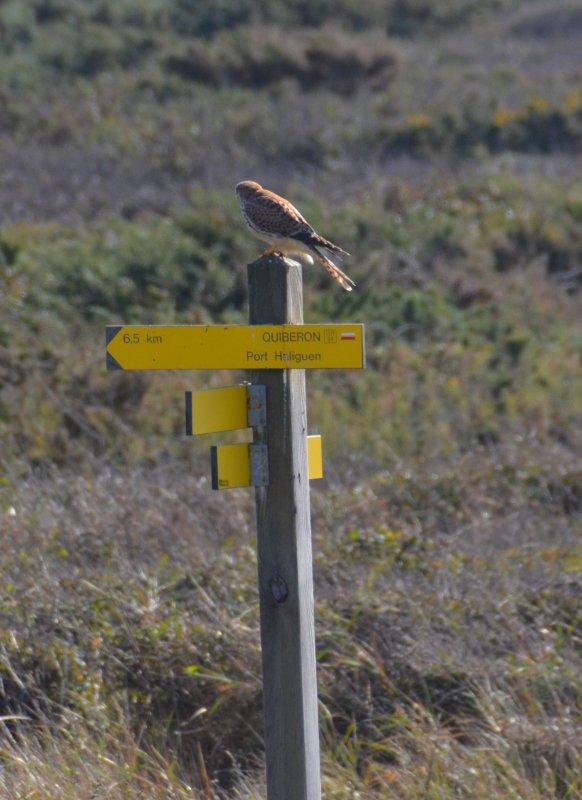 Faucon aille à Quiberon (18 oct)