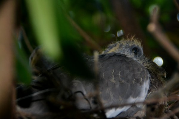 petits pigeons ramiers 11 aout