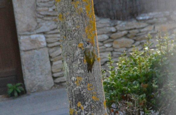 Un pivert (femelle) aux korrigans 13 aout