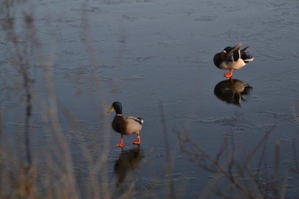 21 janv la  mare aux canards gelée