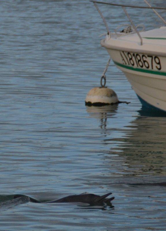 Deux dauphins venus nous rendre visite à port haliguen 8fev