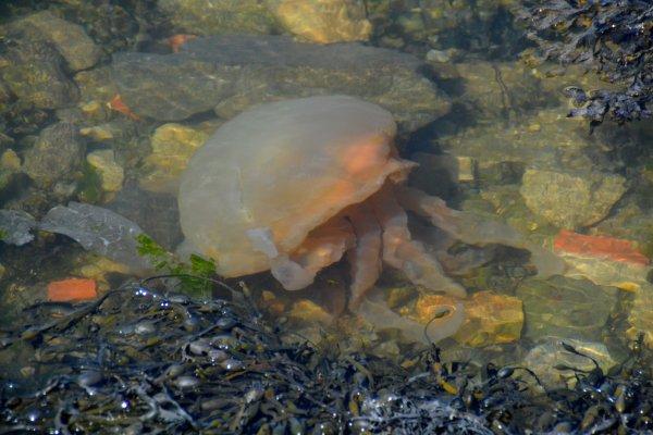 des belles meduses