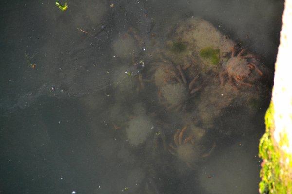 Des centaines d'araignées port haliguen 20 juin