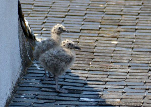 Des bébés goélands en plein centre ville 20 juin