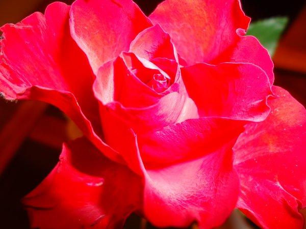 une rose offerte par mon fils pour mes 28 bougies