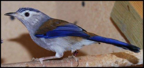 Minla A Ailes Bleues Elevage Des Fouillots