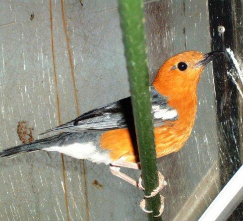 Grive à tête orange