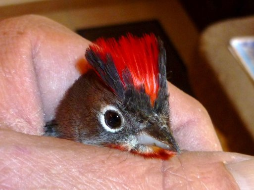 Araguira rougeâtre