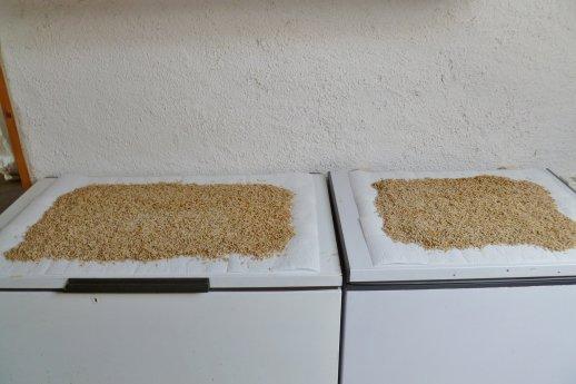 Les différentes phases de préparation et transformation des pinkies (asticots);