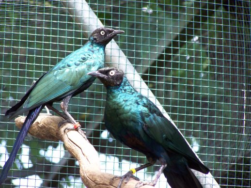 Choucador à longue queue