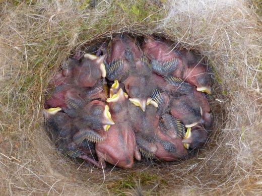 Mésange charbonnière (nid)