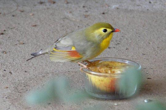 Vol de Léiothrix jaune mutation pastel brun