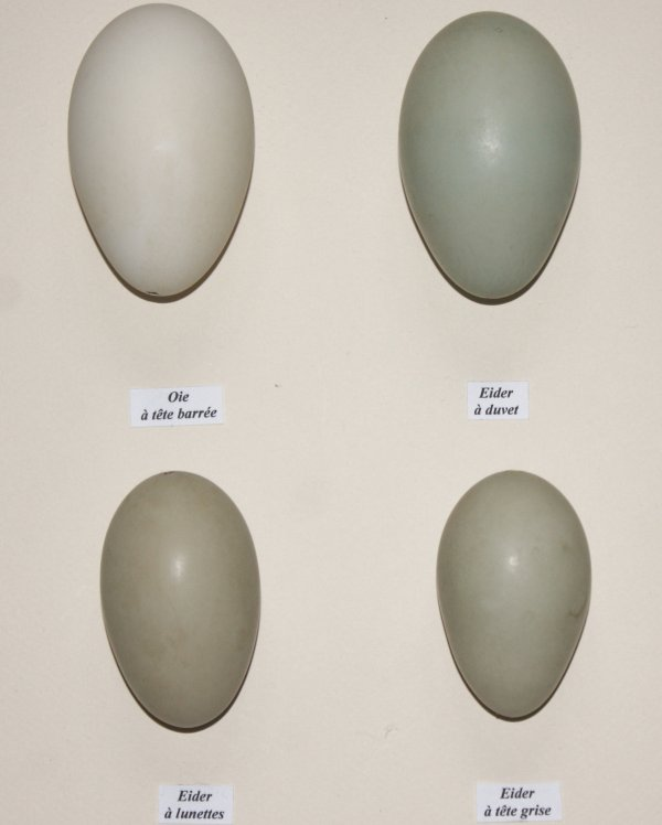 Oeufs (collection)