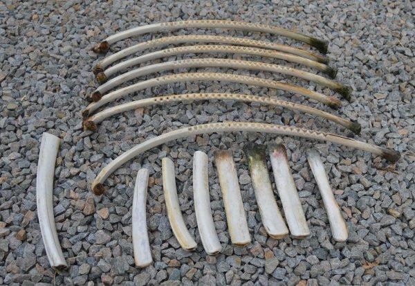 racleurs avec leurs bâtons pour la danse de l'ours des indiens Utes du nord